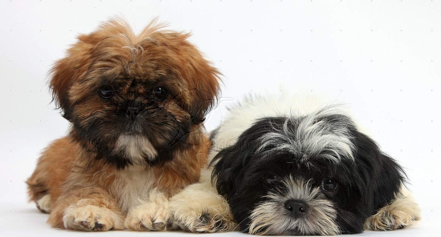 37966 Brown and black and white Shih tzu puppies white background