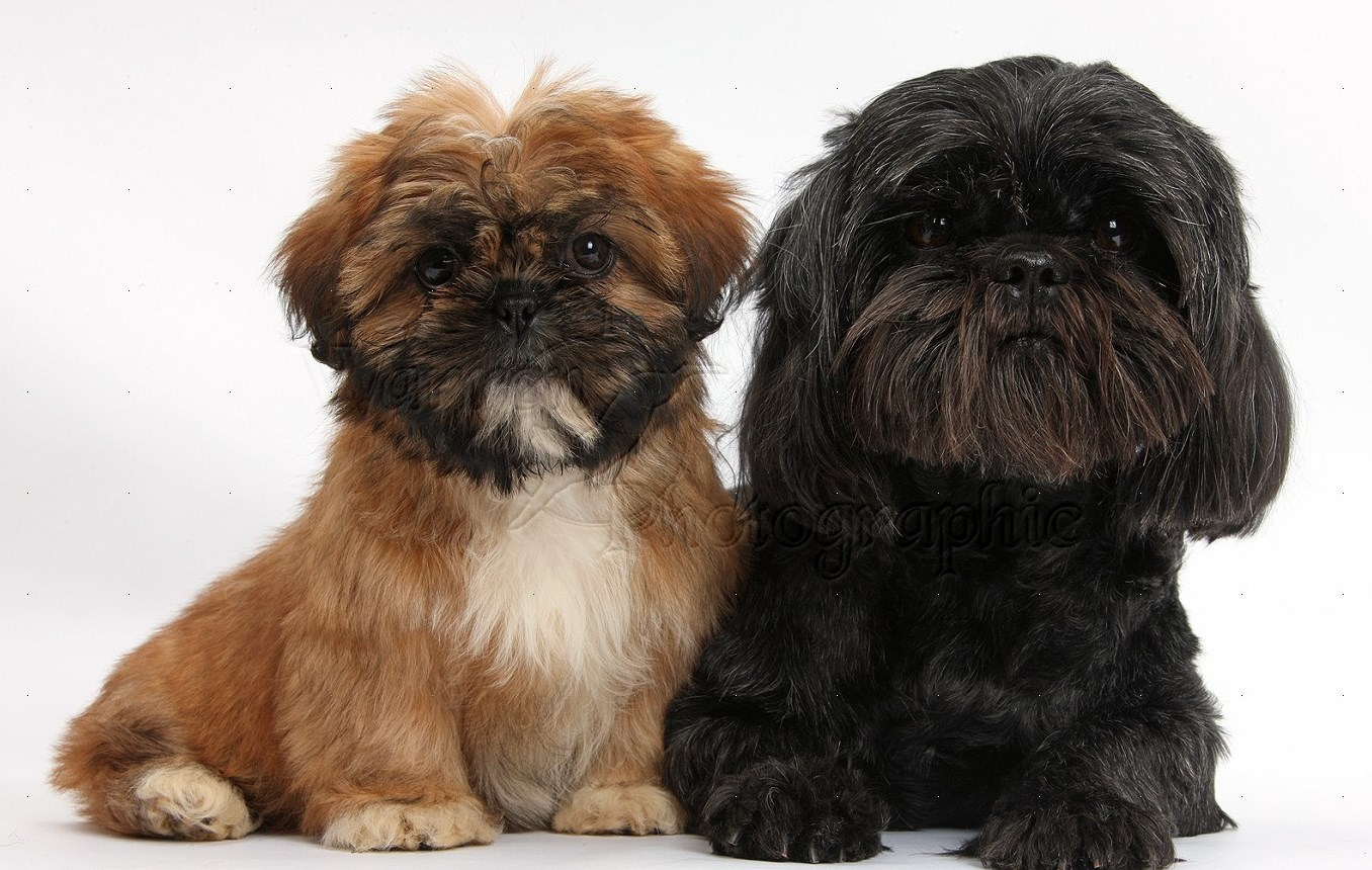 38318 Brown Shih tzu pup and black Shih tzu bitch white background