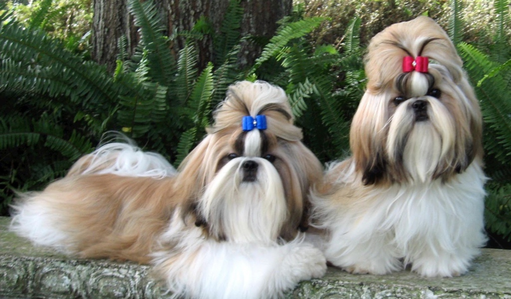 Animals Dogs Pair of well groomed Shih Tzu 085174 27
