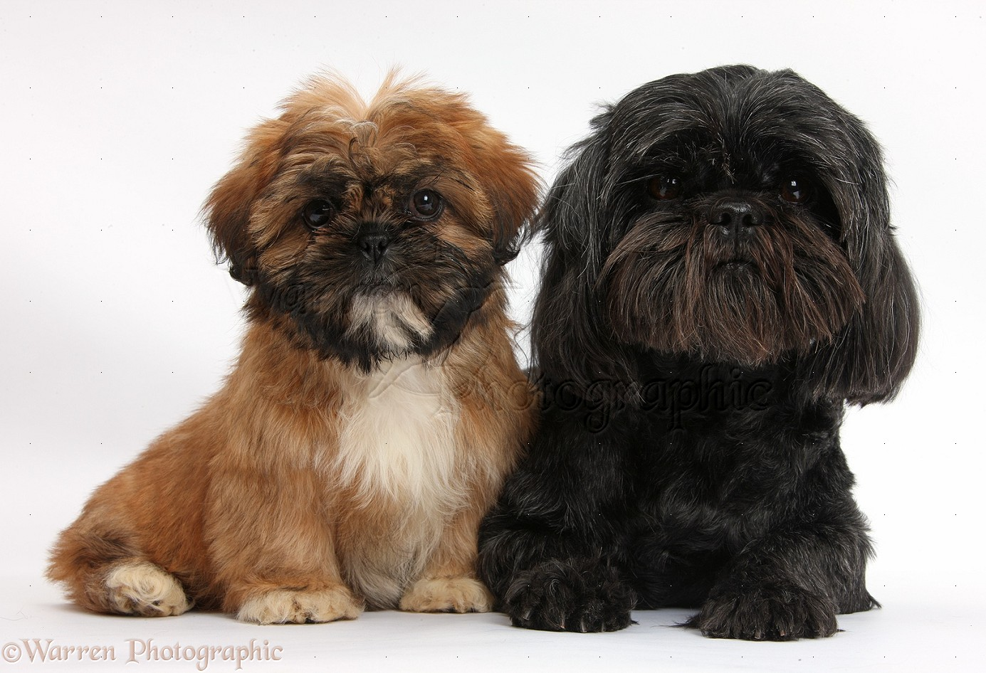 brown shih tzu pup and black shih tzu bitch